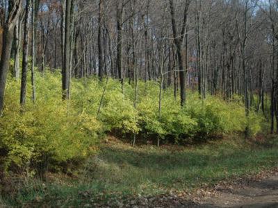 CONTROLLING NON-NATIVE INVASIVE PLANTS IN OHIO FORESTS: BUSH HONEYSUCKLE