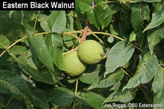 THOUSAND CANKERS DISEASE (TCD) UPDATE – DON'T RUSH TO CUT WALNUT TREES